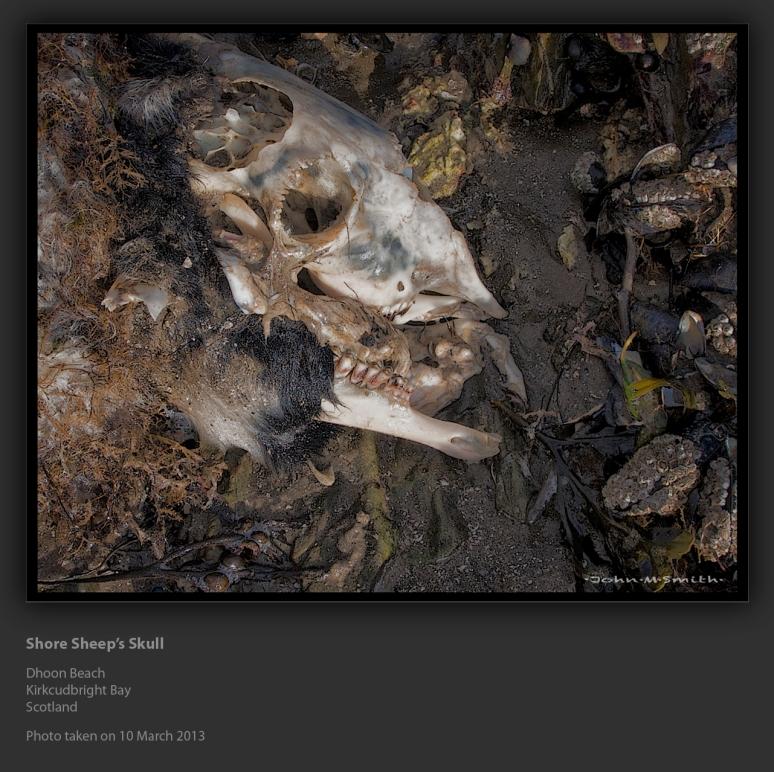 Shore Sheep's Skull